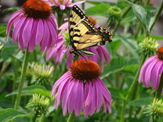 Eastern Tiger Swallowtail on purple coneflower 4