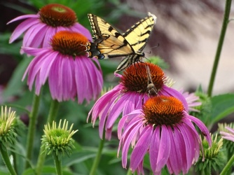 Eastern Tiger Swallowtail on purple coneflower 5