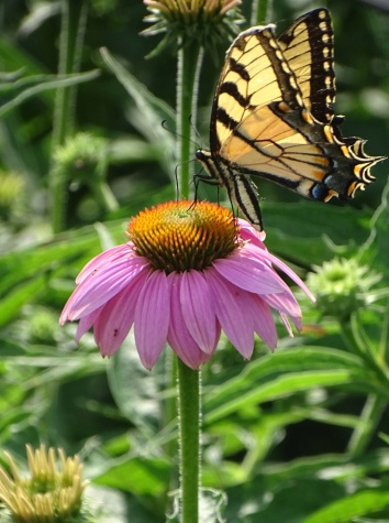 Eastern Tiger Swallowtail on purple coneflower 6