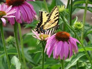 Eastern Tiger Swallowtail on purple coneflower 7