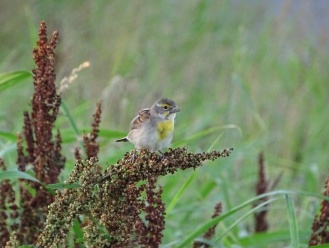 Female Dickcissel 1