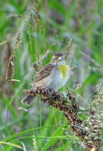 Female Dickcissel 2
