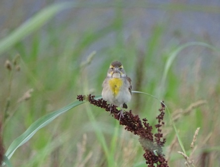 Female Dickcissel 3