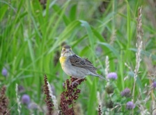 Female Dickcissel 4