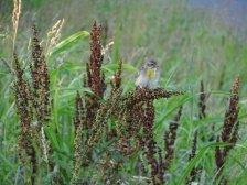 Female Dickcissel 5