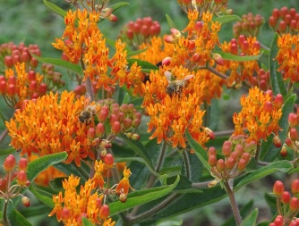 Honey bees on Orange butterfly weed