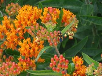 Large milkweed bug on Orange butterfly weed