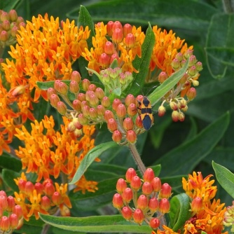 Large milkweed bug on Orange butterfly weed
