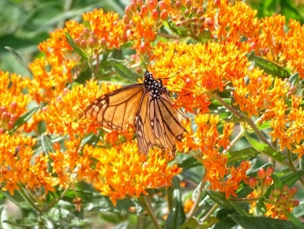 Viceroy butterfly on orange butterfly weed