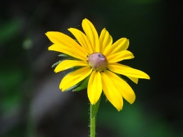 Black-eyed Susan 3