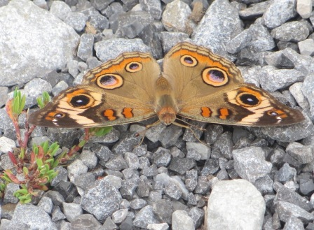 Common buckeye 1
