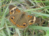 Common buckeye 5