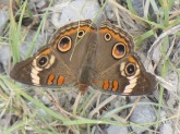 Common buckeye 6