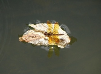 Eastern Amberwing on a floating leaf 1