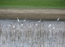Great Egrets 1