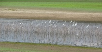 Great Egrets 2