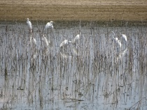 Great Egrets 3