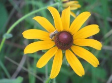 Long-horned Bee on black-eyed Susan 1