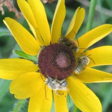 Long-horned Bee on black-eyed Susan 2