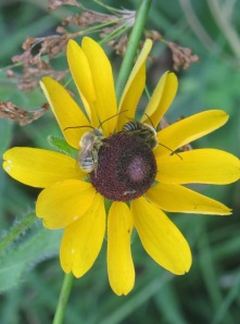 Long-horned Bee on black-eyed Susan 3