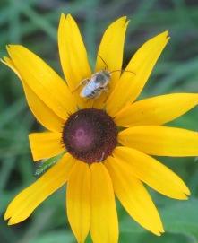 Long-horned Bee on black-eyed Susan 4
