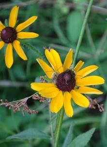 Long-horned Bee on black-eyed Susan 5