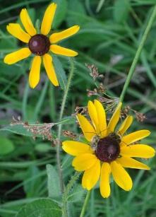 Long-horned Bee on black-eyed Susan 6