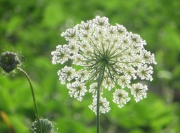 Queen Anne's Lace from the back