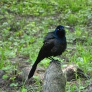 Grackle on a cypress knee