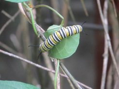 Monarch butterfly catterpillar