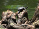 turtle on cypress knees