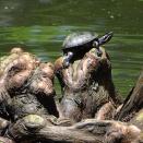 turtle on cypress knees
