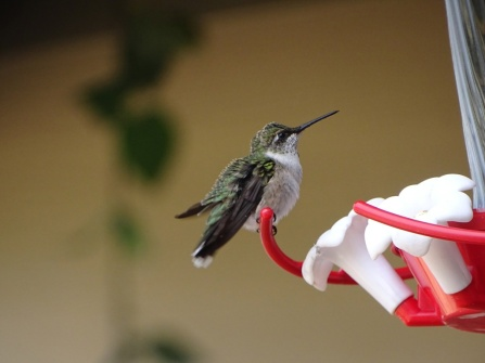 female humming bird 1