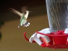 female humming bird 2