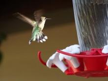 female humming bird 2