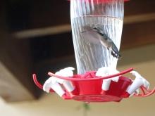 female humming bird 3