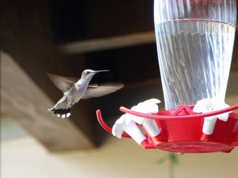 female humming bird 4