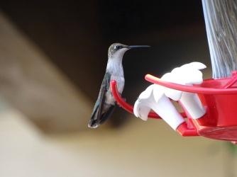 female humming bird 5