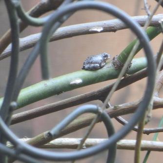Gray Treefrog 2