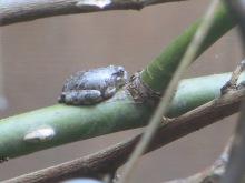 Gray Treefrog 3