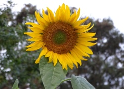 sunflower 10