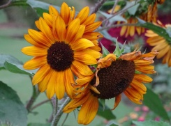 sunflower 6