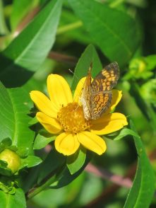 butterfly on Bur Marigold