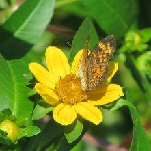 butterfly on Bur Marigold