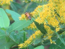 Goldenrod and Goldenrod Soldier Beetle