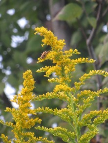 Goldenrod and Goldenrod Soldier Beetles 2