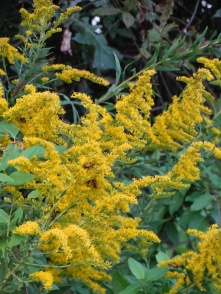 Goldenrod and Goldenrod Soldier Beetles 3