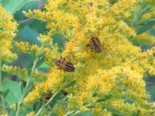 Goldenrod and Goldenrod Soldier Beetles