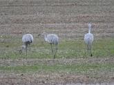 Sandhill crane 10