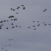 Sandhill crane 11